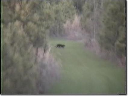 Amerikanischer Panther